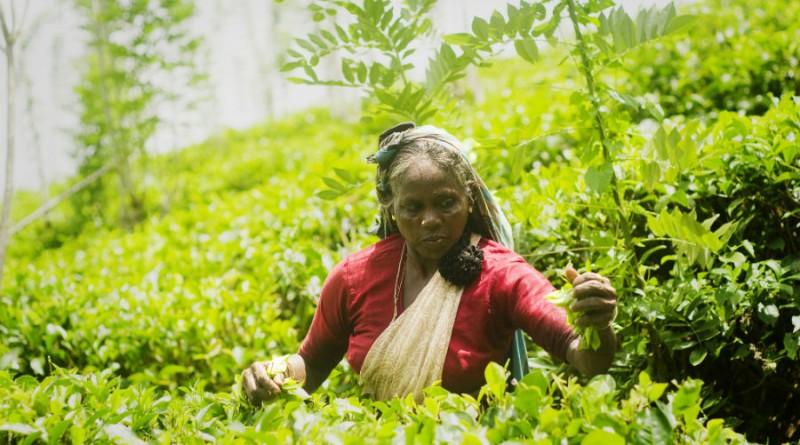 Sri Lanka tea plucker