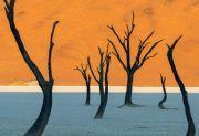 Namibia - Camel Thorn drveće