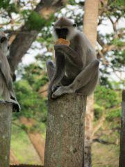 Sri Lanka Anuradhapura Ruwanwelisaya stupa monkey eating bread