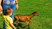 Serbia Subotica Palic ethno park Majkin salas goat